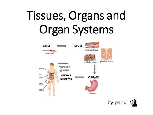 cells and tissues organs relationship