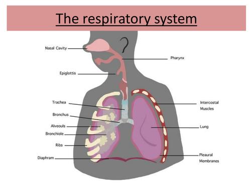 Igcse Gcse Standard Grade Respiratory System Powerpoint 10004396 on Ks3 Science Worksheets