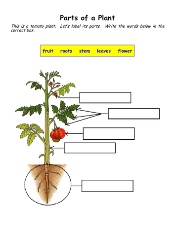 Parts Of A Tomato Plant Worksheet   Cromalinsupport
