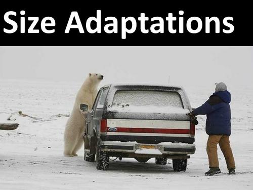 Arctic Adaptation: Surface Area: Volume Ratio