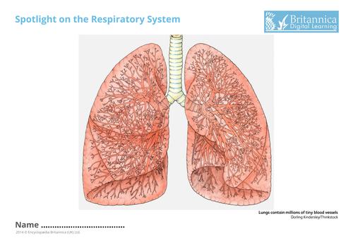 Respiratory System Activities