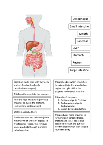 Ks3 digestive system cut and stick by kingbenjamin teaching ks3 digestive system cut and stick by kingbenjamin teaching resources tes ccuart Image collections