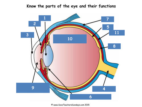 Parts Of The Eye Lesson Plan Worksheet And Quiz By