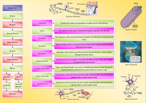 Neurones and Reflex Arcs