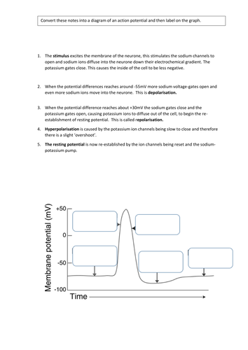 Action Potential Worksheet - Synhoff