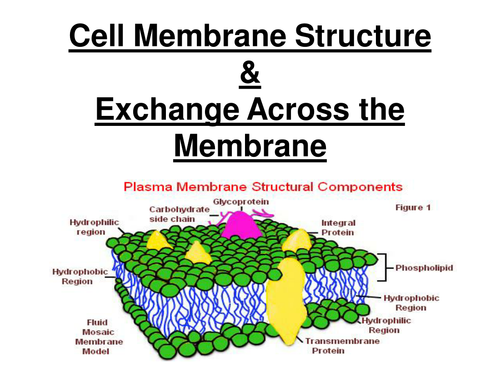 New AQA AS BIology - Cell membrane structure & exchange across membranes