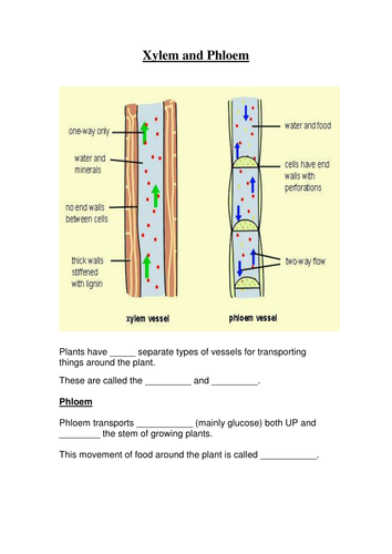 GCSE Revision resources - worksheets for xylem, phloem ...