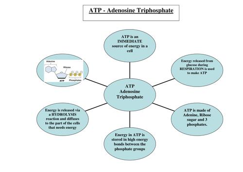 New AQA AS Biology Water ATP Inorganic Ions Helpsheet by – Atp Worksheet