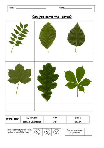 Can you name the tree leaves by ruthbentham   Teaching ...