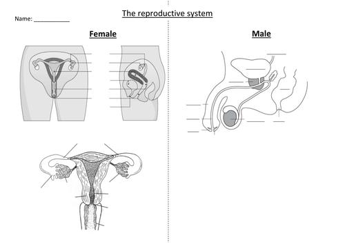 Ks3 Reproduction Lesson 2 Sex Organs By Missali87