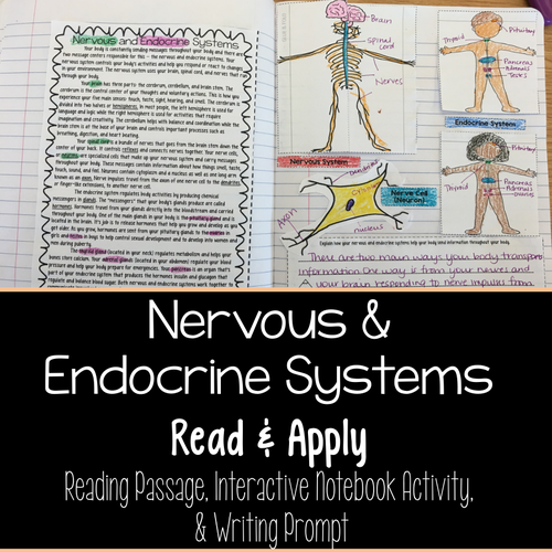 Jessica smith science teaching resources tes nervous and endocrine systems read and apply reading comprehension interactive notebook activity ccuart Gallery