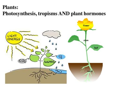 Plants, photosynthesis, tropisms and plant hormones: KS3 ...