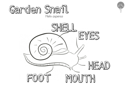 Garden Snail Helix Aspersa Anatomical Colouring Page By Treeickle