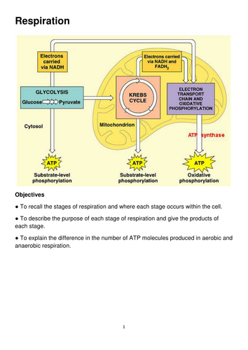 Respiration Revision for A Level Biology