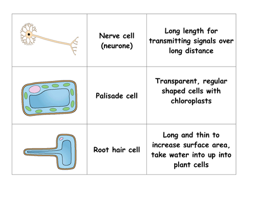 PLENARY CARD SORT SPECIALISED CELLS