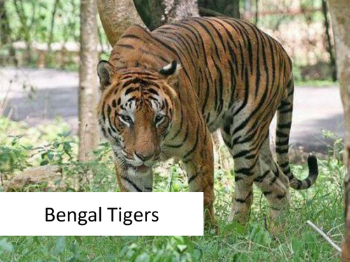 Reading Comprehension - Bengal Tigers