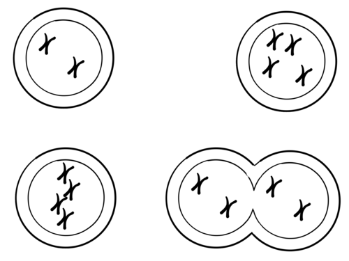 Mitosis and Meiosis Diagrams