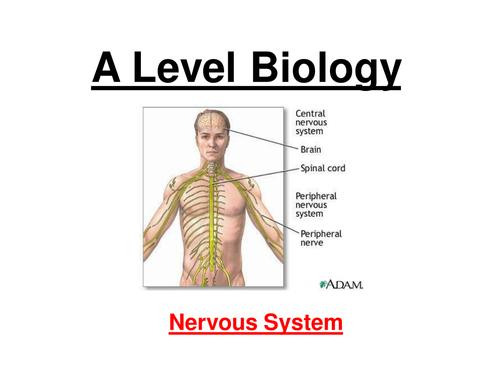 A level Biology nervous system - Neurones, Action potential, Synapses, ACH (24 slide ppt)