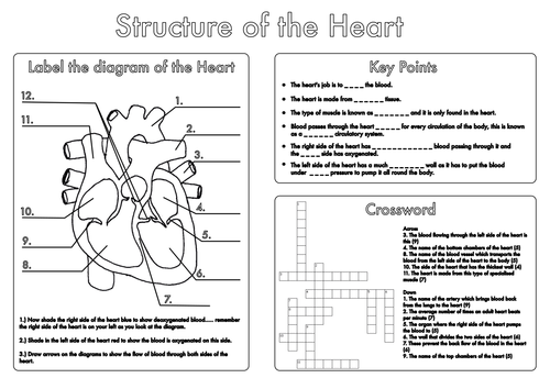 GCSE Biology Heart and Lung Structure Worksheets by beckystoke ...