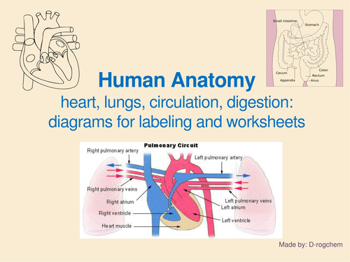 Anatomy - IGCSE: circulatory, digestive, endocrine system and the eyes: questions and diagrams