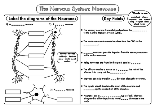 GCSE worksheets on the Nervous System by beckystoke Teaching – Central Nervous System Worksheet