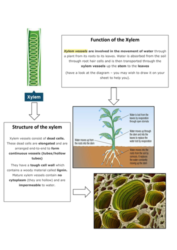 Xylem, Phloem and Transpiration