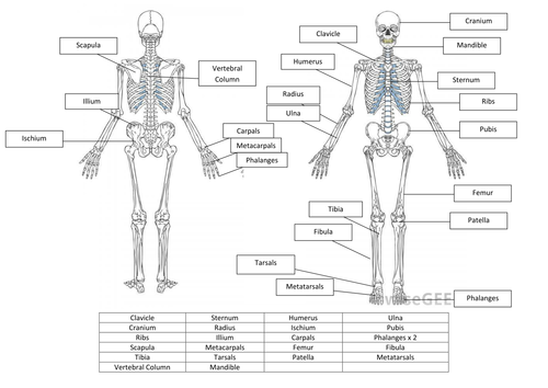 Printables The Skeletal System Worksheet Answer Key the skeletal system worksheet answers davezan and by hayleyanne20 teaching
