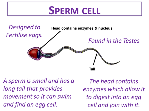 Specialised cells ks3 by ayalalucy teaching resources tes ccuart Image collections