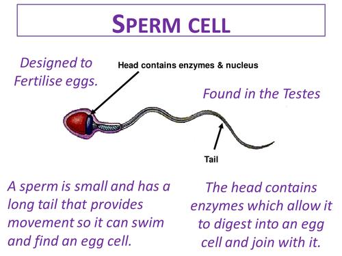 Specialised Cells KS3