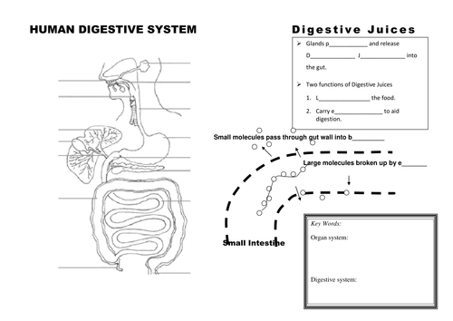 digestive system organs and digestion summary by jestill teaching resources tes. Black Bedroom Furniture Sets. Home Design Ideas