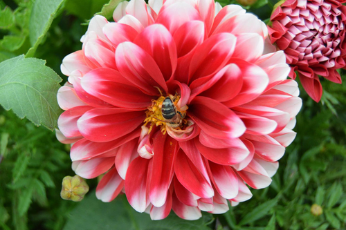 Stock Photo - Zinnia with a Bee