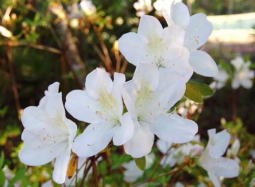 Stock Photo - White Azalea Flowers