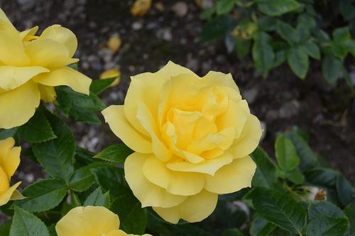 Stock Photo - Yellow Rose Flower