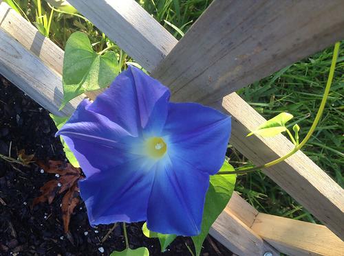 Stock Photo - Blue Morning Glory Flower