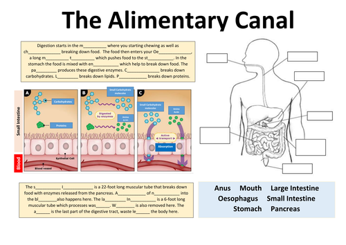 Aarons science academy teaching resources tes biology the alimentary canal digestive system fundamentals ccuart Images