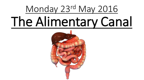The Alimentary Canal (Digestive System)