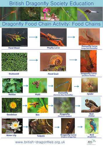 Food Chain Activity: Food Chains