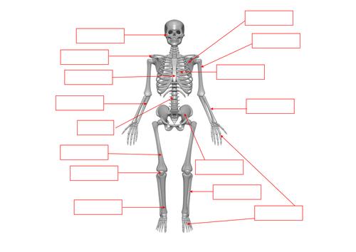 Label the bones of human skeleton by jpspooner Teaching – Skeleton Worksheet