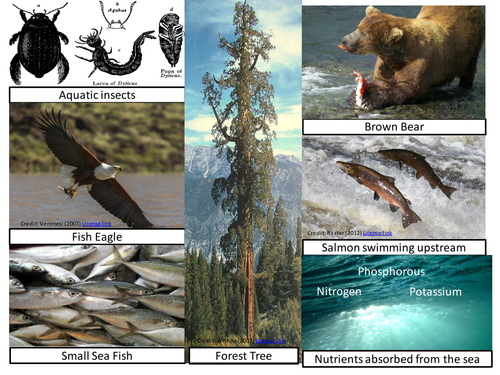 Biogeography/ Ecosystems.  Differentiated KS3 lesson, how can a salmon become a tree? Nutrient Cycle