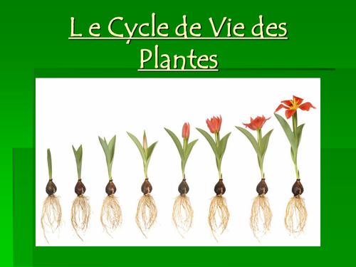 Le cycle de vie d'une plante