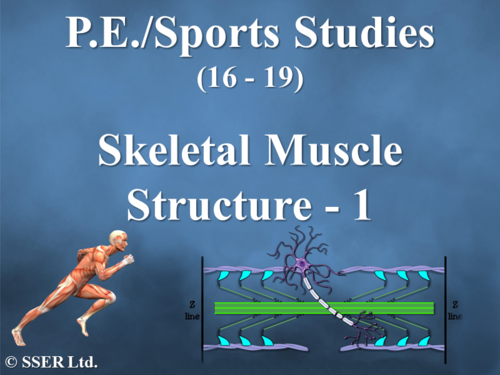 Skeletal Muscle Structure - 1