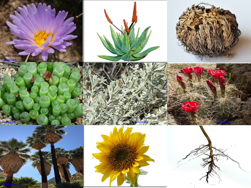 Biogeography/ Ecosystems KS3 lesson- How are plants adapted to life in hot deserts?