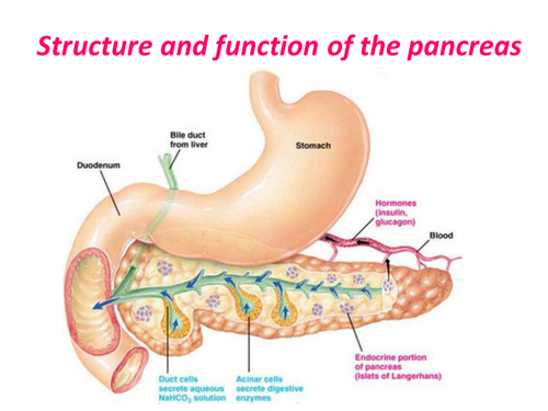 Structure and function of the Pancreas | Teaching Resources