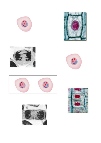 NEW AQA B2.1 Cell division