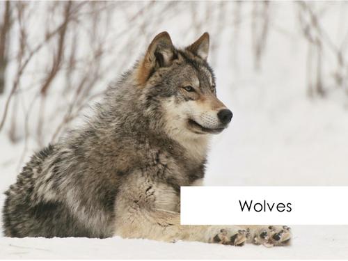 Wolves - Reading Comprehension