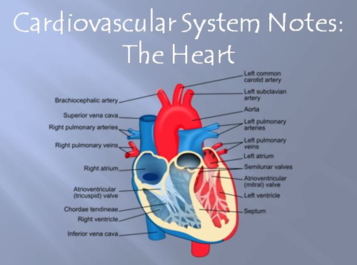 Cardiovascular System Notes - The Heart Powerpoint Presentation by ...