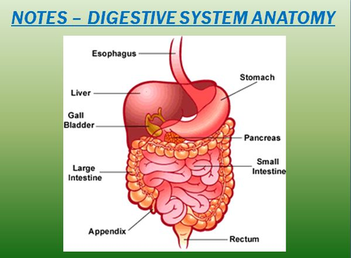 Digestive System Notes-Digestive System Anatomy Powerpoint ...