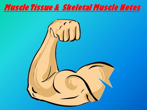 Muscular System Notes Muscle Tissue Notes Powerpoint Presentation