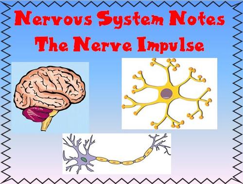 Nervous System Notes The Nerve Impulse Powerpoint Presentation