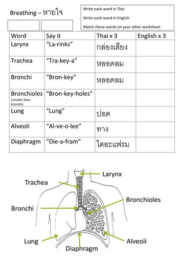 EAL Breathing worksheet in Thai KS3